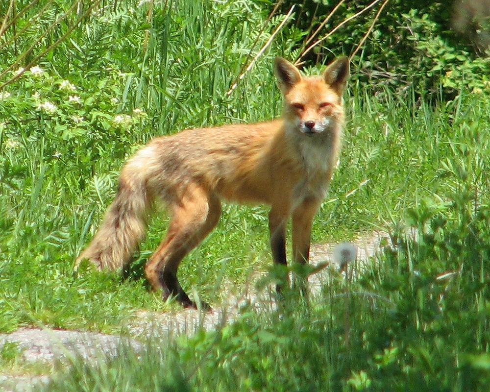 The fox took my shoe!